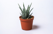 Haworthia Fasciata, An Indoor Succulent Plant In The Pot On White Background