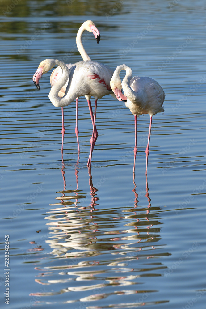 Flamingos (Phoenicopterus ruber) standing in water with big reflection, in the Camargue is a natural region located south of Arles in France,