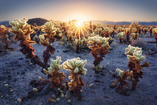 Numerous Cactus In A Field