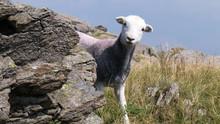 Shy Herdy (Herdwick) Sheep In The English Lake District