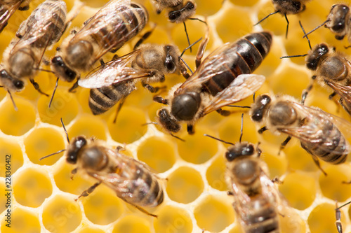 Bee mother on honeycomb with surrounded  honeybees layong eggs Canvas Print