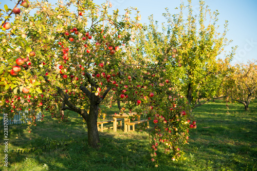 Apple garden nature background sunny autumn day. Gardening and harvesting. Fall apple crops organic natural fruits. Apple tree with ripe fruits on branches. Apple harvest concept
