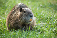 Portrait Of Nutria In The Grass