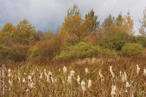 Fotografia, Obraz  Autumn landscape with  cattails (Typha latifolia)  in the foreground