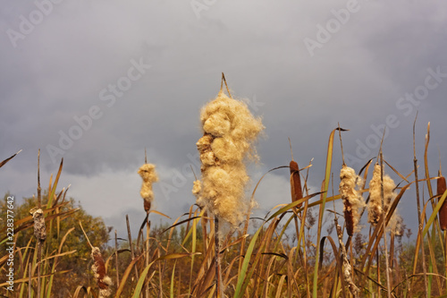 Foto  Cattails (Typha latifolia) exploding seeds in Autumn