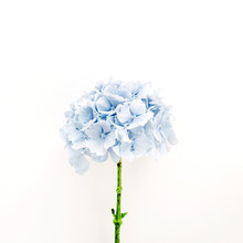 Blue Hydrangea Flower Isolated On White Background. Flat Lay, Top View Floral Concept.