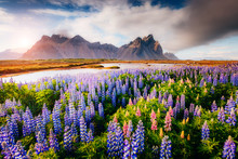 Magical Lupine Flowers Glowing...