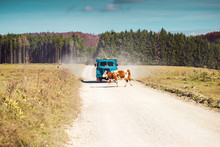 Cow Crossing A Countryside Road In Front Of Truck