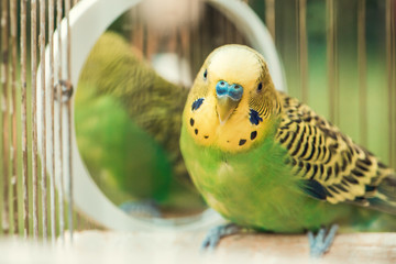 Green budgerigar parrot close up sits in cage. Cute green budgie.