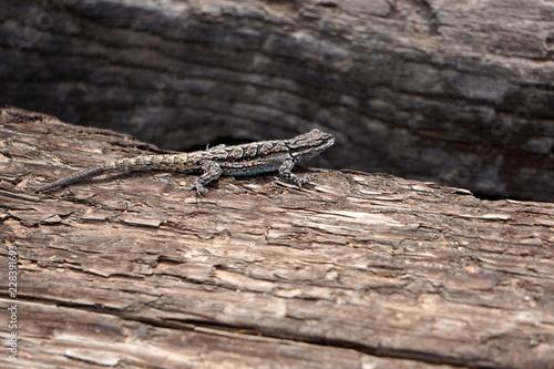 Photo  Ornate tree lizard (Urosaurus ornatus), native to Arizona, on a wooden background