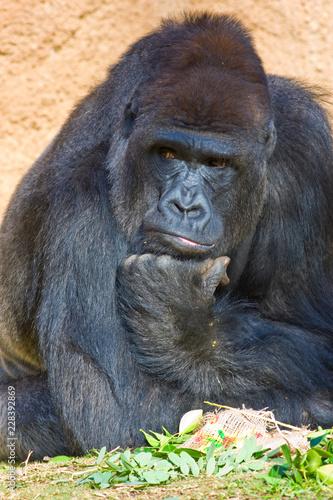 Thinking Gorilla. Canvas Print