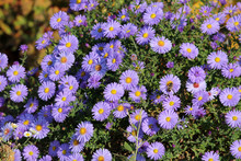 Abundantly Flowering Shrub Of Symphyotrichum Or Aster With Lots Of Small Blue Flowers