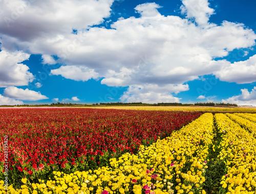 Spoed Foto op Canvas Platteland Farmer field of buttercups