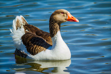Chinese Goose Floating On Water.