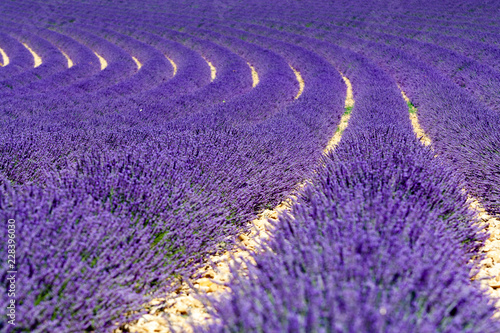 Tuinposter Lavendel Lavander field