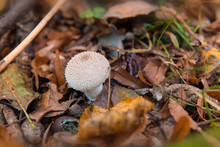 Mushroom Puffball In The Woods In The Fall Among The Dry Twigs, Green And Yellow Fallen Leaves. Lycoperdon Perlatum Known As The Common Puffball