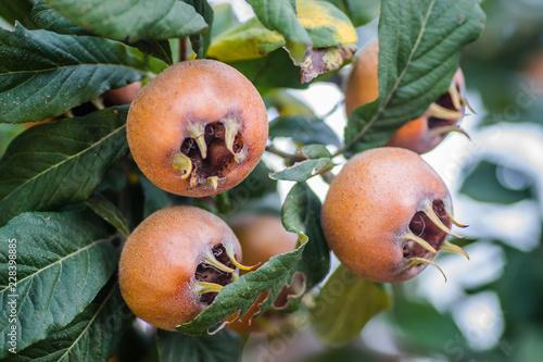Ripe medlar fruit on a tree branch
