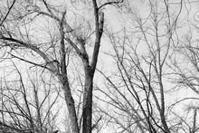 Shriveled Tree