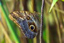 Owl Butterfly With Green Background. Owl Butterflies Are Protected Species In Mexico. Cloaseup On Delicate Wings