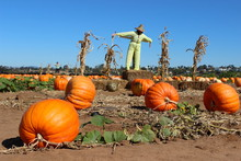 A Scarecrow Watches Over A Pumpkin Patch