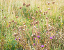 Close Up Of Brown Seed Pods And Purple Flowers In A Field Of Wild Grasses