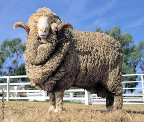 Stud Merino ram at at a farm in Australia.sheep