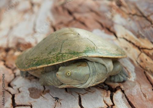 Cooper creek turtle,  south australia.
