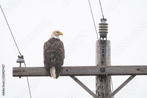 Naklejka premium Bald eagle sitting on the crossbar of a wood utility pole