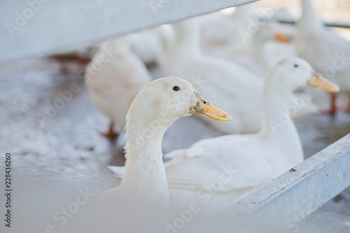 Photo  white duck, animal