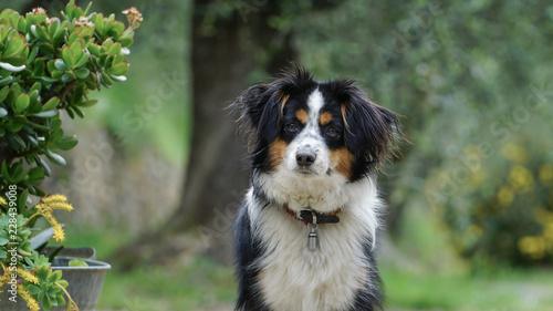 Dog, Miniature Australian Shepherd - Buy this stock photo