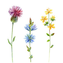 Watercolor Set Of Wildflowers. Thistle, Hypericum, And Chicory On White Background