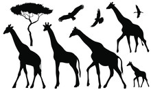 Set Of 5 Giraffes Silhouettes On White Background. Giraffe Vector Illustrations.