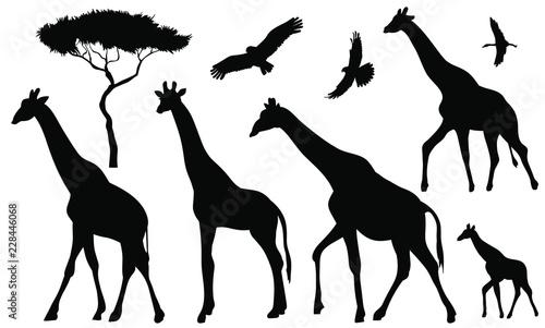 Fotografia, Obraz Set of 5 giraffes silhouettes on white background