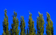 Leinwanddruck Bild - Lombardy Poplar Tree Tops Against Blue Sky On A Windy Day. Abstract Natural Background.