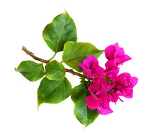 Closeup Of Bougainvillea Flowers