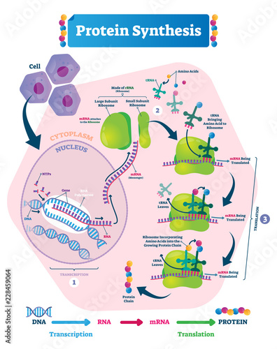 Photo Protein synthesis vector illustration