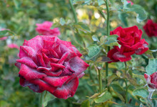 Powdery Mildew On Red Rose