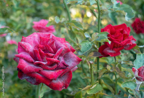 Valokuva Powdery mildew on red rose