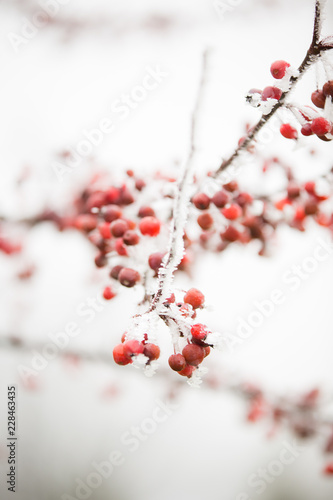 Fotografie, Obraz  Red berries and beautiful, icy, white frost