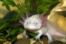 Underwater Axolotl Portrait Cl...