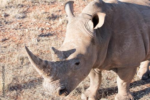 White rhino in Namibia