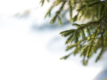 Winter. Fir Branch Under The Snow. Winter New Year Theme,