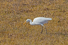 Yellow Billed Egret Bird Hunting For Insects