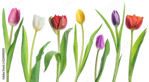 Row of colorful tender tulips on white background.