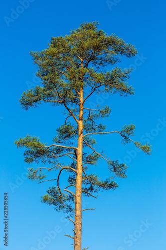 Valokuva  Hög tall mot blå himmel
