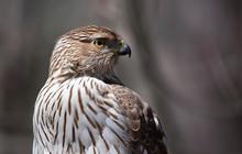 Cooper's Hawk Closeup In Autumn In Canada