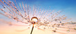 Leinwandbild Motiv Pusteblume in Nahaufnahme mit Tautropfen