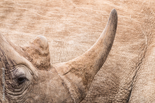 rhinoceros horn close-up