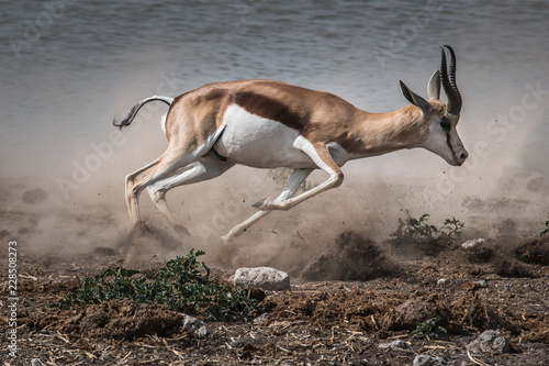 Photo sur Toile Antilope fast fleeing springbok