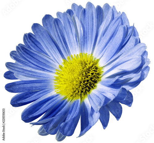 Foto op Canvas Madeliefjes Blue flower daisy isolated on white background. For design. Closeup. Nature.